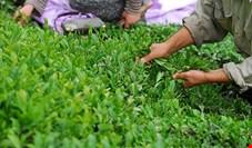 کاهش ۴۵ درصدی صادرات چای ایرانی در دولت روحانی