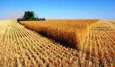 قیمت گندم به بیش از ۱۸۰۰ تومان رسید+ نمودار