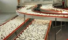 رئیس هیأت مدیره اتحادیه مرغ تخمگذار تهران: قیمت تخممرغ کیلویی هزار تومان افزایش یافت