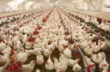 کاهش ۴۳ درصدی قیمت جوجه یکروزه گوشتی طی یکماه اخیر