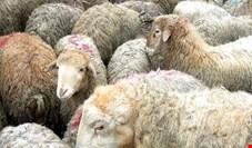 واکنش رئیس اتحادیه گوشت به  واردات گوشت از استرالیا؛ دامداران  متضرر میشوند