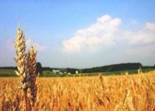 تاخیر در اعلام نرخ خرید تضمینی گندم کشاورزان را سرگردان کرد/ با این وضعیت خود کفایی گندم تداوم نخواهد داشت
