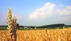 حجم زیادی گندم برای ورود به کشور وارد گمرک شد/ آغاز لابیگری برای واردات محمولههای گندم+ سند