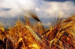 پیشنهاد افزایش قیمت گندم به شورای اقتصاد داده شد/گندم تولیدی نیازامسال کشور را تامین می کند