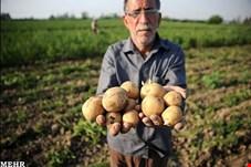سیب زمینی در میدان میوه و تره بار عرضه نمیشود/ قیمت سیب زمینی به 5 هزار تومان رسید/ دلالان سیب زمینی را به قیمت ناچیز از کشاورز میخرند و صادر میکنند