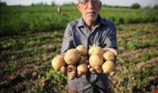 رکورد گرانی سیب زمینی در ۱۲ سال گذشته شکسته شد+ نمودار