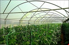 آب سبز در استان های آذربایجان، کردستان، کرمانشاه و ایلام استفاده می شود/۱۱ هزار و ۵۰۰ هکتار گلخانه برای کشور  کافی نیست