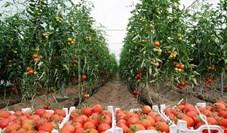 گوجه فرنگی در افزایش قیمت رکورد دار شد