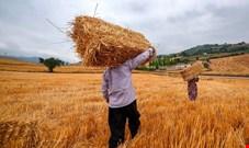 وزارت جهاد کشاورزی پیشنهاد نرخ خرید تضمینی گندم را اصلاح کرد/ قیمت هر کیلو گندم در بازارهای جهانی 280 دلار