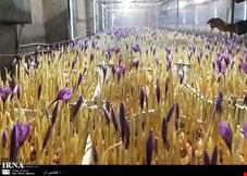 کشت گلخانه ای زعفران، روش جدید یا سراب سودآوری؟