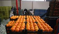 آغاز خرید ۴۰ هزار تن پرتقال مازندران برای شب عید