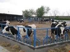 تولید 9 ماهه امسال نصف سال 87 شد!/ آمار نادرست وزارت جهاد کشاورزی درباره سرانه مصرف گوشت هر ایرانی!/ 7500 گاوداری تعطیل شده را فعال کنید، تولید گوشت تا 30 درصد افزایش مییابد