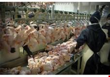تکذیب ذبح نامناسب و غیر شرعی مرغ/ مجوزی برای واردات مرغ صادر نشده است