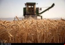 پیش بینی افزایش تولید گندم کشور با وجود سیل/ خودکفایی امسال هم تکرار میشود