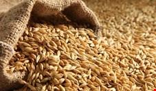 افزایش ۱۵۵ درصدی قیمت جو و گندم طی یکسال