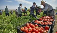 حتی اگر گوجه در روزهای آینده به کیلویی ۲۰ هزار تومان هم برسد معقول است