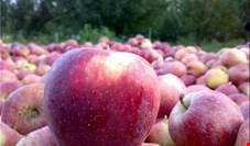 کاشت و تولید سیب نصف شد/ احتمالا قیمت سیب ۲ برابر شود