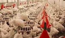 دبیر انجمن جوجه یکروزه: صنعت مرغ به سمت ورشسکته شدن میرود