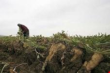 کشت چغندر بهاره 127 هزار هکتار کاهش یافت